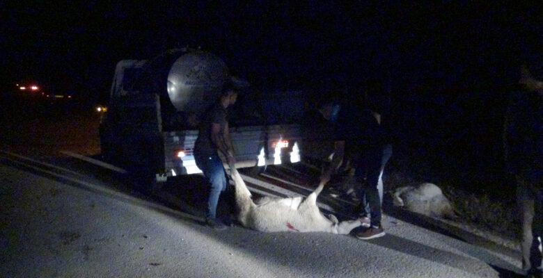 Afyonkarahisar'da kamyonetin çarptığı 13 koyun telef oldu