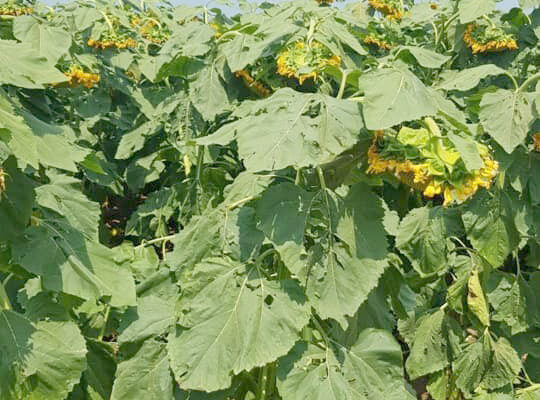 Altıntaş'ta tarımda alternatif ürün üretimi