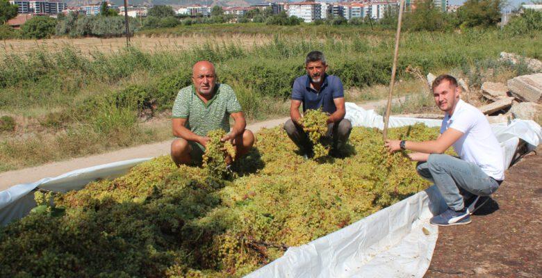 Manisa'da sumalık üzüm sezonu erken açıldı