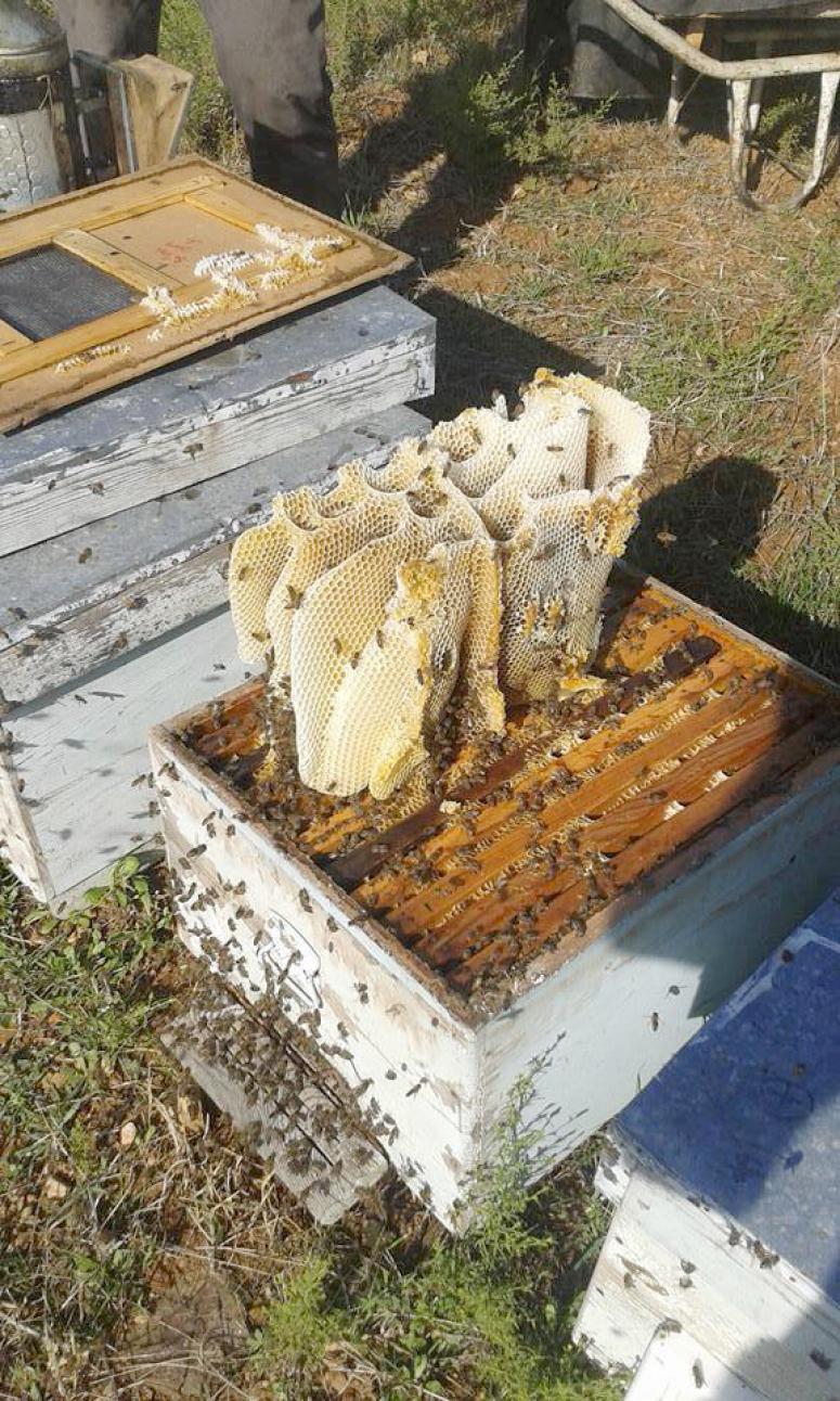 Afyonkarahisar'ın kendine özgü haşhaş poleni var