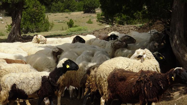 Karakeçili Yörükler koyunlarını kırkmak için bir araya geliyor