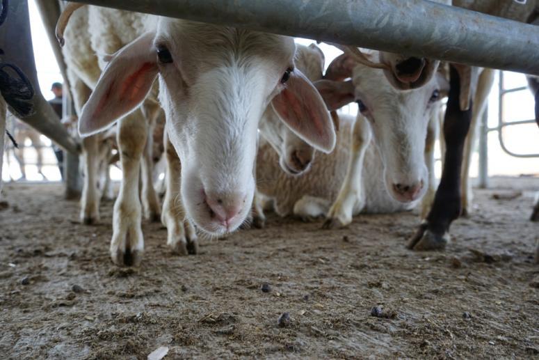 Şuhut'ta canlı hayvan pazarı açıldı