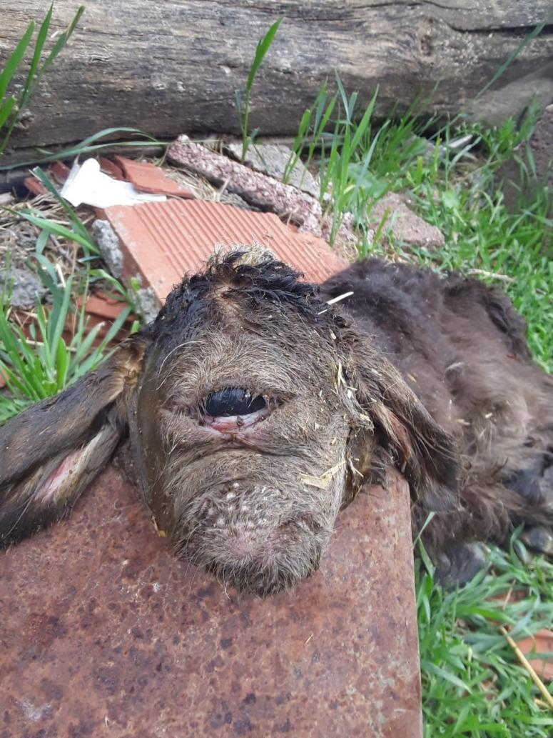 Kuzu tek gözü ve burnu olmadan dünyaya geldi