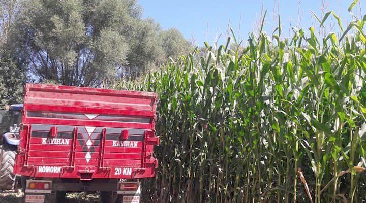 Mısır hasadında yüksek verim bekleniyor