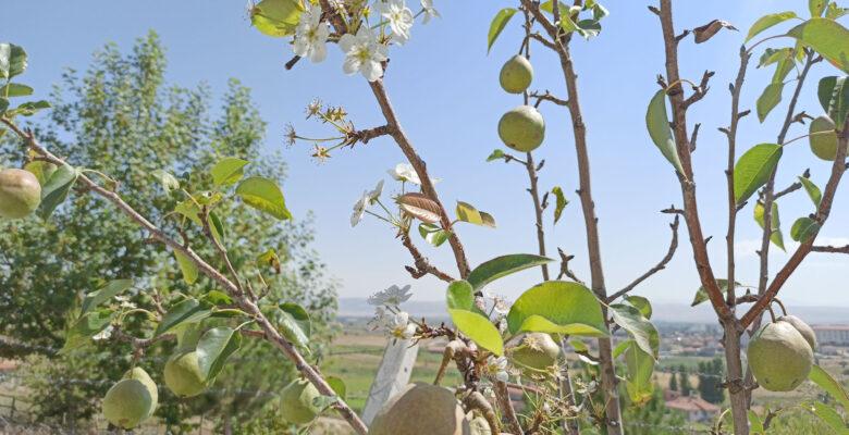Şuhut'ta armut ağacı ağustos ayında çiçek açtı
