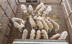 Küçükbaş hayvan pazarında hareketlilik