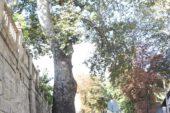 """Çevre ve Şehircilik İl Müdürlüğü: """"Çınar ağacı 290-300 yaşlarında"""""""