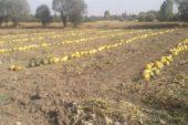 – Çavdarhisar'da çerezlik kabak hasadı başladı