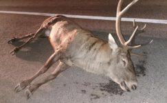 Tırın çarptığı geyik telef oldu