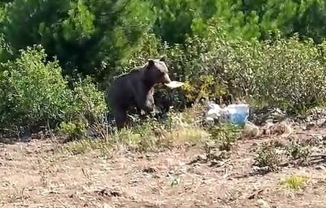 Aç kalan ayıyı orman işçileri besledi