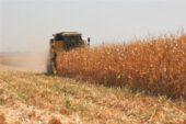 Don ve dolu mısır üretimini düşürdü