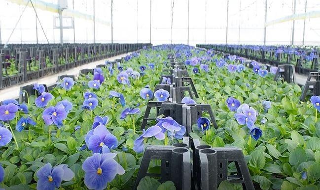 Jeotermal seralarda üretilen çiçekler milletvekili ve bakanlara gönderildi