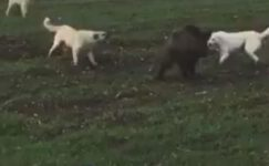 Domuz ile köpekler arasındaki amansız mücadele böyle görüntülendi