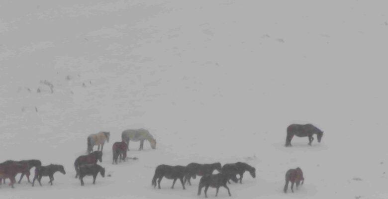 Sandıklı'da Yılkı Atlarının doğa ile mücadelesi görüntülendi