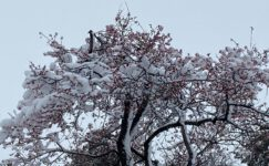 Yalancı bahara aldanıp çiçek açan ağaçlar kar altında kaldı