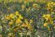 'Eber Sarısı' bu sene de eşsiz güzelliği ile açtı