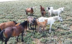 Yılkı atları tüm güzellikleriyle drone ile havadan görüntülendi