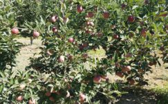 Elma hasadı öncesi çiftçilere eğitim verildi